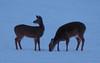 16Jan18 deer-9
