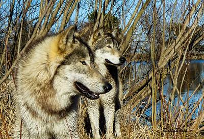 Feb 2018 Wolf Park-150