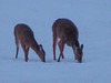 16Jan18 deer-7