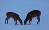 16Jan18 deer-8