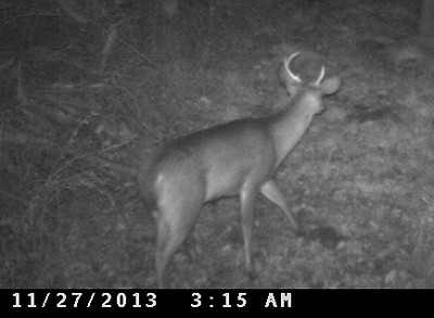 This little buck has the deformed antler on the right side as his great, great, great grandfather did. I've been watching the male members from this gene-pool for 20 years.