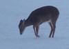 16Jan18 deer-3