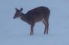 16Jan18 deer-2