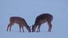 16Jan18 deer-6