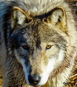 Feb 2018 Wolf Park-125