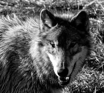 Feb 2018 Wolf Park-103