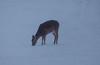 16Jan18 deer
