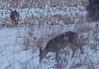 16Jan18 deer-4