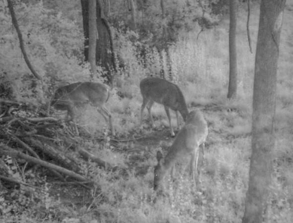 nightime deer