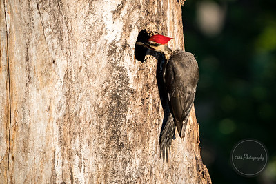Pileated Woodpecker - Gatlinburg TN