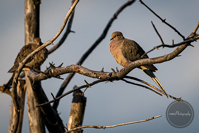 Mourning Dove - Gatlinburg TN