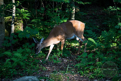 Deer in the Smoky Mountains - Gatlinburg TN