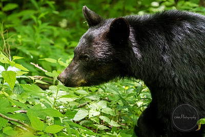 Black Bear in the Smoky Mountains - Gatlinburg TN