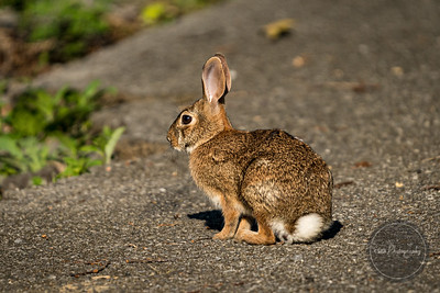 Appalachian Cottontail Rabbit - Gatlinburg TN