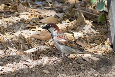 Italian Sparrow