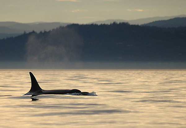 A wild orca (also known as killer whales) comes up for air at sunset along the Pacific Ocean