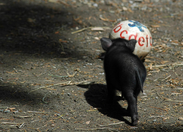 Vietnamese potbellied piglet chasing a ball