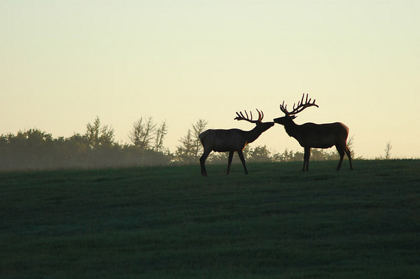 Elk kiss - at Sunrise