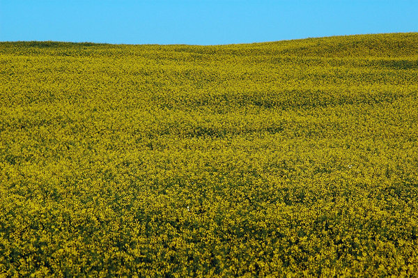 Prairies of Canada - Mustard Fields