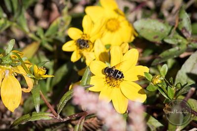Leefcutter Bee