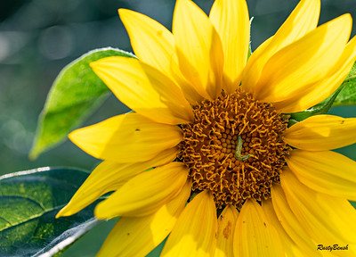 Sunflower July20-4