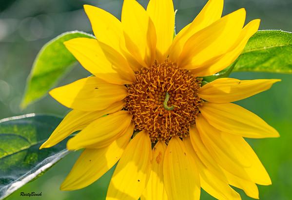 Sunflower July20-2