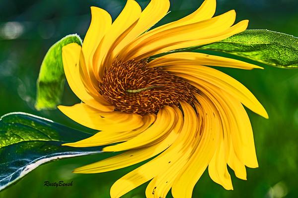 Sunflower July20-1B
