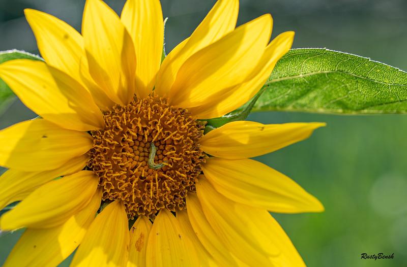 Sunflower July20-3