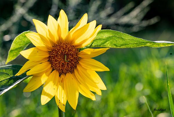 Sunflower July20-5