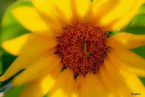 Sunflower July20-8