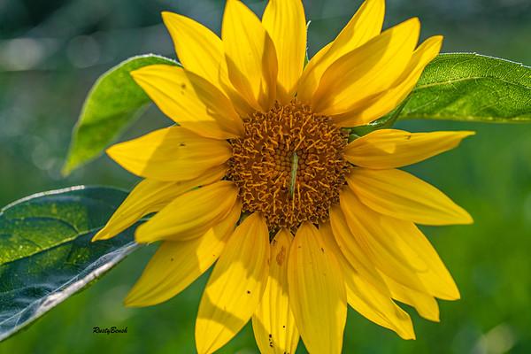 Sunflower July20-1