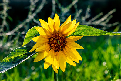 Sunflower July20-6