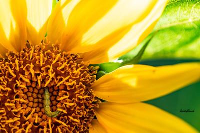 Sunflower July20-12