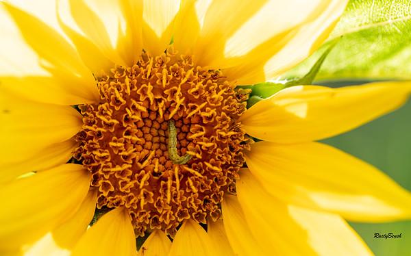 Sunflower July20-10