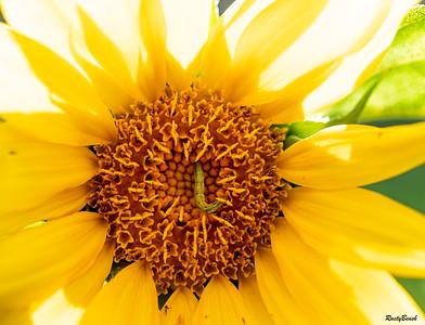 Sunflower July20-11