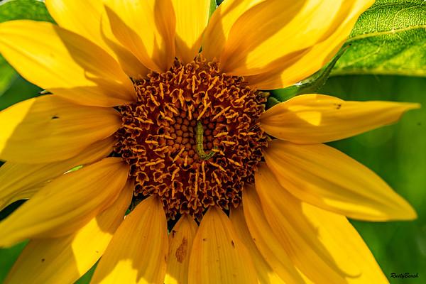Sunflower July20-7