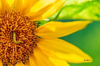 Sunflower July20-17