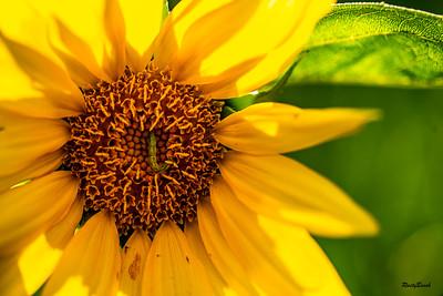 Sunflower July20-9