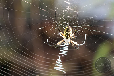 Garden Yellow Spider