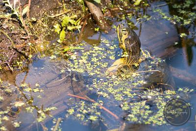 Slider Turtle