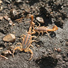 Missouri Striped Scorpions (Centruroides vittatus)--found while flipping rocks on a hillside; Montgomery Co, MO