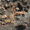 Missouri Striped Scorpions (Centruroides vittatus)--found while flipping rocks on a hillside; Montgomery Co, MO