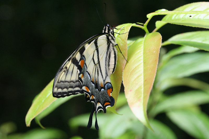 Eastern Tiger Swallowtail (Pterourus glaucus); Macon Co, NC