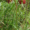 Flowering Purple Pitcher Plant (Sarracenia purpurea); Highlands Biological Station, Macon Co, NC