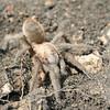 Missouri Tarantual (Aphonopelma hentzi), the largest spider in Missouri; Camden Co, MO