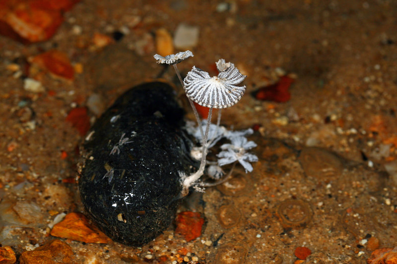 The best find from the first cave visited was this mushroom-covered scat.