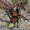 Aphonopelma hentzi (Tarantula); Camden Co, MO