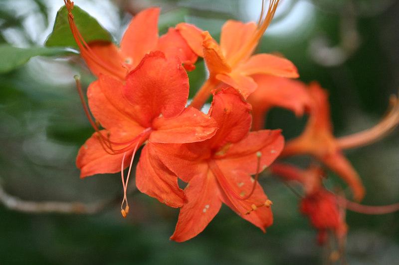 Flame Azalea (Rhododendron calendulaceum); Macon Co, NC