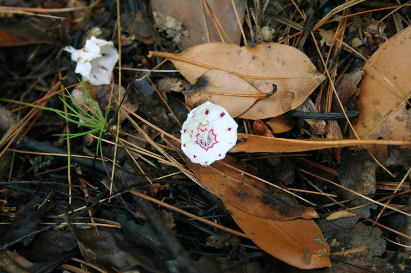 Mountain Laurel (Kalmia latifolia) blossom on ground of burned forest; Macon Co, NC