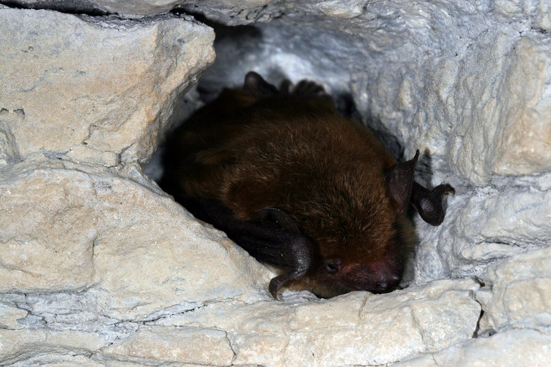 Eastern Pipistril Bat (Pipistrellus subflavus) overwintering in a cave; Jefferson Co, IN